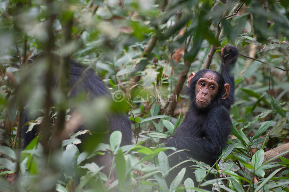 Young chimpanzee riding the back of his mother in Kibale Forest, Uganda.
