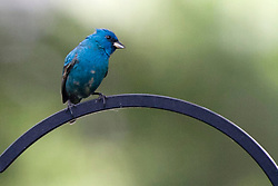 11 May 2012:   Indigo Bunting.Breeding adult male.Small, stocky songbird.Conical, silvery-gray bill.Mostly bright blue.Some black edging on wings