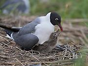 Laughing Gull;  Leucophaeus atricilla; NJ, Cape May County, Ring Island