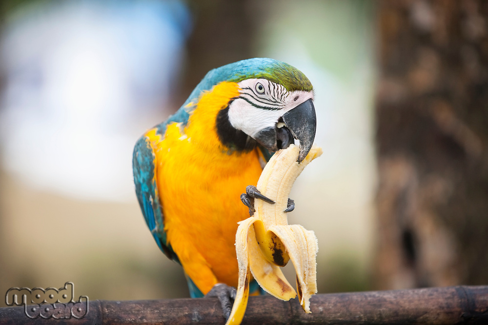 Blue and yellow Macaw eating banana; Boracay; Philippines