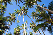 Coconut palm grove, Lavena Village, Taveuni, Fiji