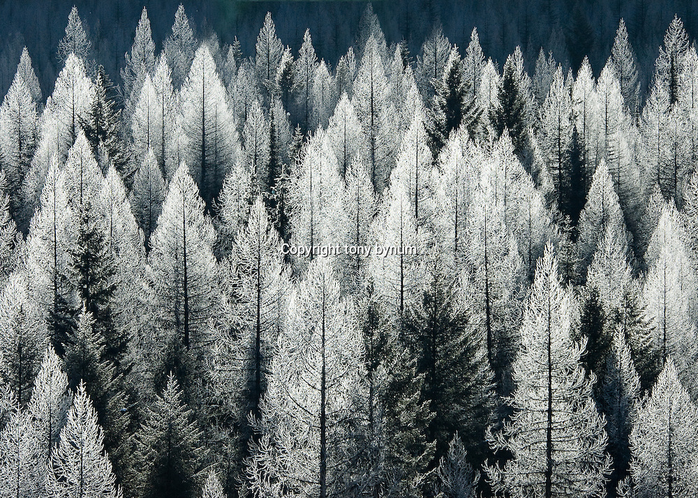 fir and larch trees frosted and backlit in glacier national park