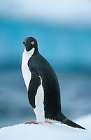 Penguin on snow