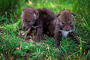 9 day old coyote (Canis latrans) puppies in the Willamette National Forest, Oregon.