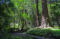 Muir Woods is world famous for its redwoods, Sequoia sempervirens. it is  located in the midst of a metropolitan region just eight miles north of San Francisco. 201304302161<br />