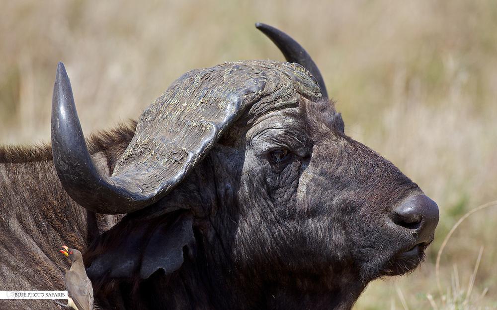 Cape buffalo bull profile close up
