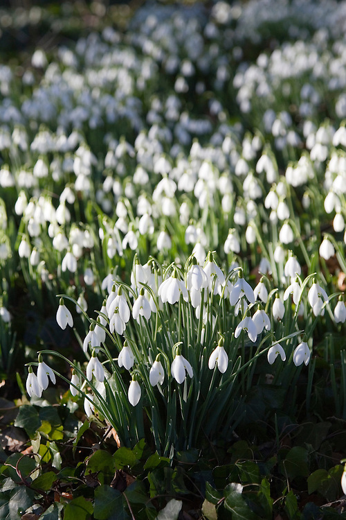 Snowdrops on forest floor in Oxfordshire woodland, The Cotswolds, England, United Kingdom