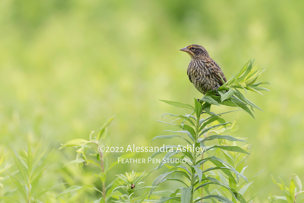 Red-winged blackbird, Agelaius phoeniceus, perches in tallgrass prairie environment.