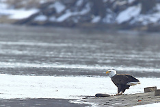 Bald and Golden Eagle Editorial and Stock Images