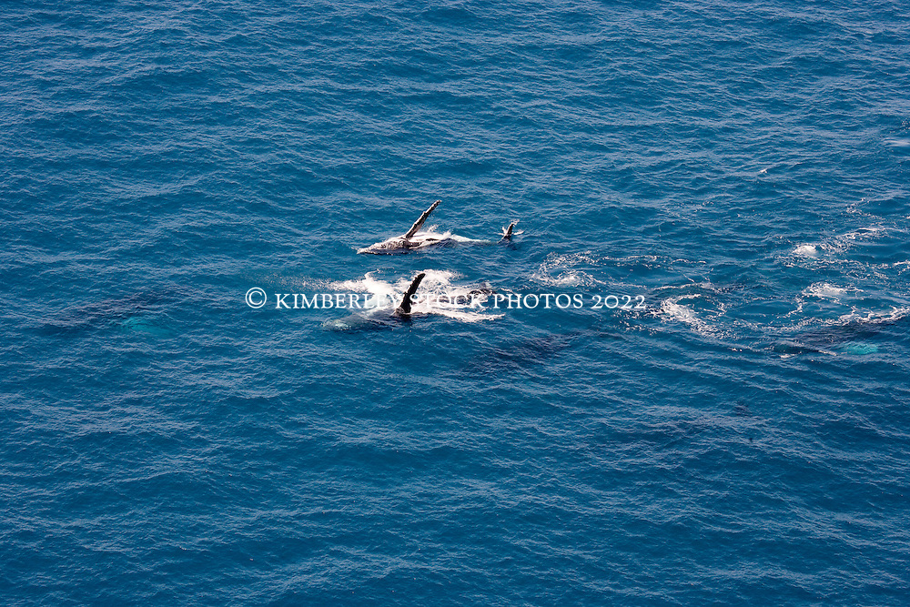 Two whales display pectoral fins side by side on the sea surface just off James Price Point.  The whales were two from a pod of nine whales travelling together.  The other whales are visible just under the surface.