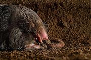 [captive] European Mole (Talpa europaea) has caught a worm in its subterranean burrow. Kiel, Germany | In seinem unterirdischen Gang hat ein Maulwurf (Talpa europaea) einen Regenwurm erbeutet, den er nun mit dem Kopf zuerst verspeist. Mit beiden Vorderfüßen streift er dabei gleichzeitig den Sand vom Regenwurm ab. Kiel, Germany