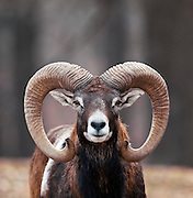 A close up shot of a Mouflon Sheep (Ovis aries orientalis) looking at the camera.