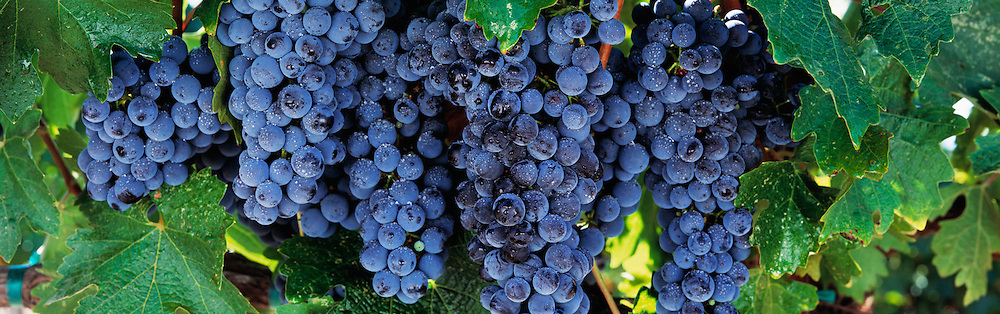 Cabernet Grapes on the Vine