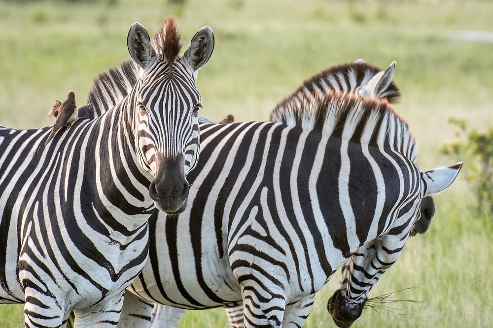 A group of zebras graze on the grasslands of the savanna in Hwange National Park. Hwange, Zimbabwe.