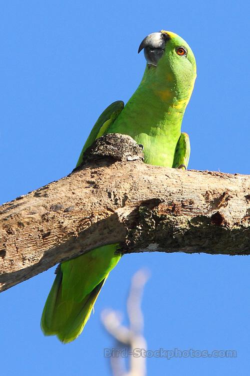 Yellow-naped Amazon (Yellow-naped Parrot), Amazona auropalliata, Los Tarrales, Guatemala, by Adam Riley
