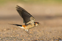 Greater-Striped Swallow taking to flight with mud pellets in its bill, De Hoop Nature Reserve, Western Cape, South Africa
