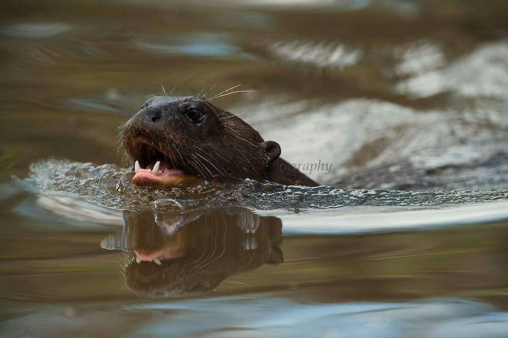 Giant Otter (Pteronura brasiliensis) HABITUATED. Part of Karanambu Otter Trust to be reabilitated.<br /> Savannah<br /> Rupununi<br /> GUYANA. South America<br /> RANGE: Orinoco, Amazon, and Guianas river systems<br /> IUCN: ENDANGERED SPECIES
