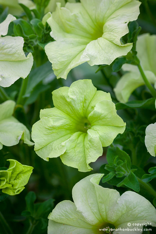 Petunia Sophistica Lime Green = 'Pas933349'