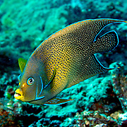 Semicircle Angelfish inhabit reefs. Picture taken Fiji.