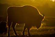 European bison (Bison bonasus) standing in dunes on cold morning with steam coming from nostrils