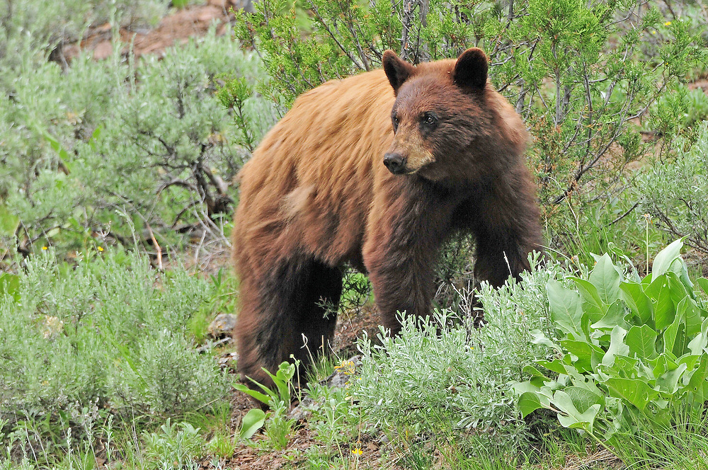 Black bear coat colors vary as a mechanism of camouflage or due to climate and habitat. Bears in moister, more densely forested regions tend to be black, while bears in the West, where conditions are drier and vegetation is sparser, may often be brown or cinnamon in color.