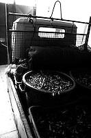 Acquaviva delle Fonti 30/10/2010, treruote carico di bidoni in plastica e cassette piene di olive....La raccolta delle olive e la produzione dell'olio extravergine sono un rituale che si protrae da moltissimo tempo in Puglia, questo avviene solitamente nel periodo che va da novembre a dicembre, mentre il lavoro di preparazione e coltivazione si svolge lungo tutto l'arco dell'anno..La raccolta è seguita nella maggior parte dei casi, quando le olive non vengono vendute all'ingrosso, dalla molitura presso gli oleifici per la produzione di quello che da queste parti viene chiamato anche oro verde..