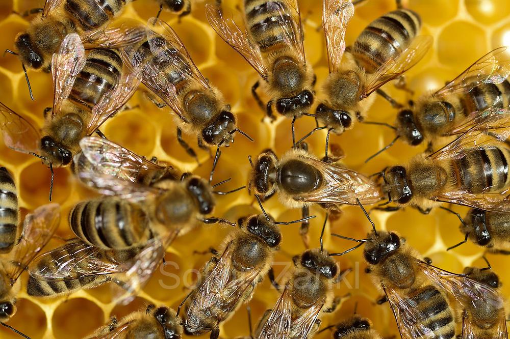 The queen honey bee (Apis mellifera) is surrounded by the workers. They feed and guid here over the honeycombs. She is just laying eggs into the cells.  Kiel, Germany | Die Königin der Honigbiene (Apis mellifera) umringt von den Arbeitern. Sie wird von ihnen umsorgt, gefüttert und über die Waben geleitet. Hier legt sie gerade ein Ei in die Zelle.  Kiel, Deutschland