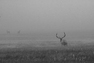 As the fog lifts, two cow elk capture the attention of a nearby bull