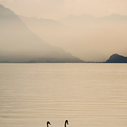 Swans swimming at sunset on the Brienzersee, Brienz, Switzerland<br />