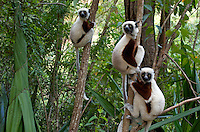 Coquerel's sifakas, (Propithecus coquereli), Madagascar Image by Andres Morya