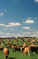 Jersey dairy cows in green pasture