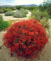 I just had to get a photo of this bright red sphere of Chuparosa wildflowers in Anza Borrego Desert State Park.  This rare round natural shape was in full bloom making it stand out against the desert landscape.