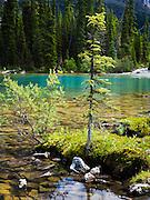 Moss and trees, Lake O'Hara, Yoho National Park, near Field, British Columbia, Canada