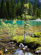 Moss and trees, Lake O'Hara, Yoho National Park, near Field, British Columbia, Canada