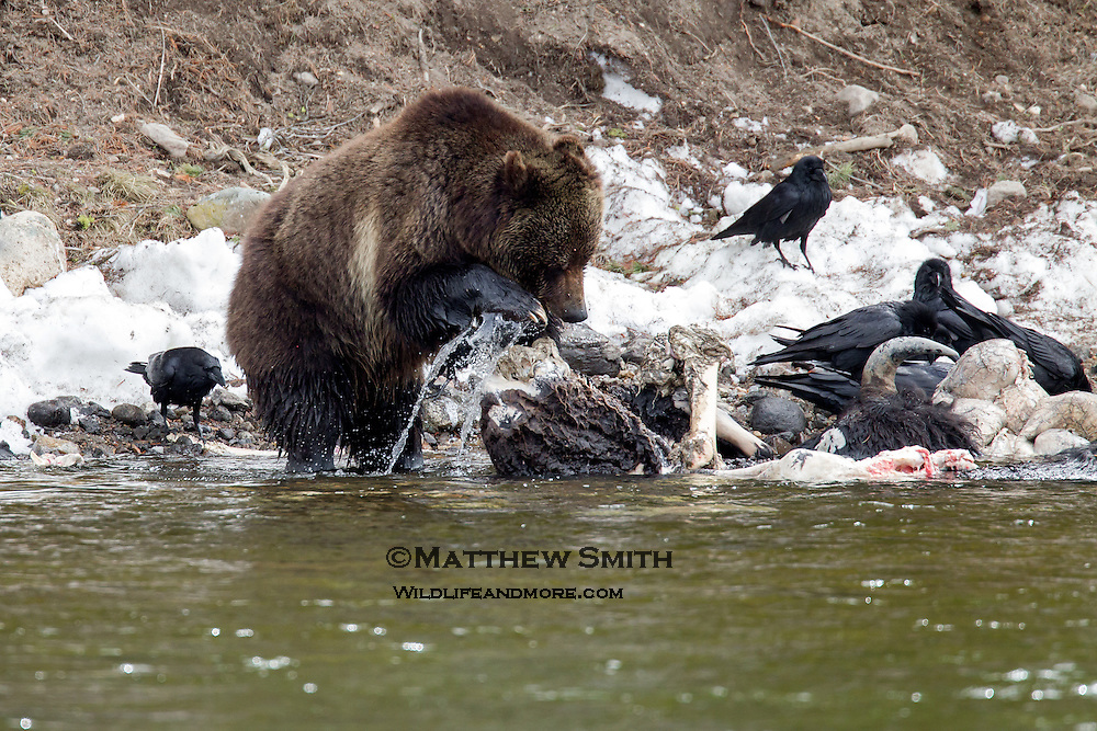 Grizzly Bear eating a Bison carcass in Yellowstone National Park