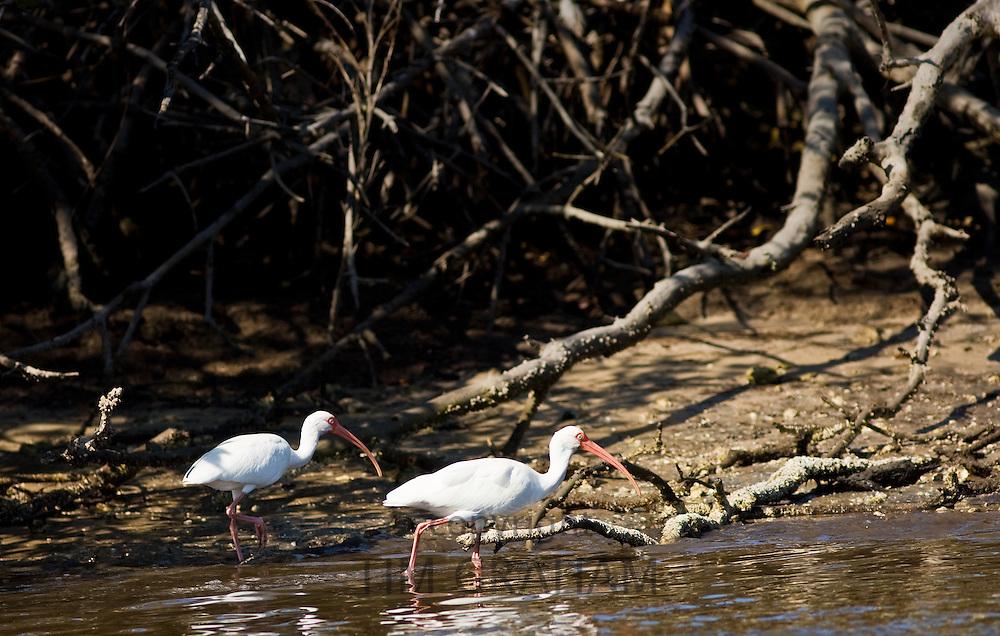 White Ibis birds, Eudocimus albus, by mangroves at Fakahatchee Strand in Everglades, Florida, USA