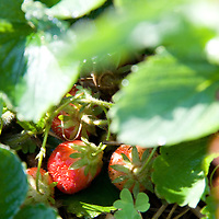 Fresh strawberries.