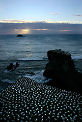 NEW ZEALAND MURIWAI BEACH 12DEC07 - Gannett seabird colony at Muriwai Beach on the north island's west coast, New Zealand...jre/Photo by Jiri Rezac..© Jiri Rezac 2007..Contact: +44 (0) 7050 110 417.Mobile:  +44 (0) 7801 337 683.Office:  +44 (0) 20 8968 9635..Email:   jiri@jirirezac.com.Web:    www.jirirezac.com..© All images Jiri Rezac 2007 - All rights reserved.