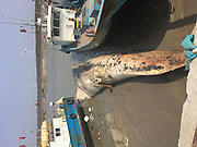 SHANGHAI, CHINA - <br /> <br /> Dead Whale With Missing Parts Appears<br /> <br /> People step on the boy off a dead whale to take photos in waters near Pudong District  in Shanghai, China. The 20-metre-long whale was found by fishermen at sea. The whales  fins were sawn off and its head was missing. In addition, part of the body has already decomposed and the cause of its death is still under investigation. <br /> ©Exclusivepix Media
