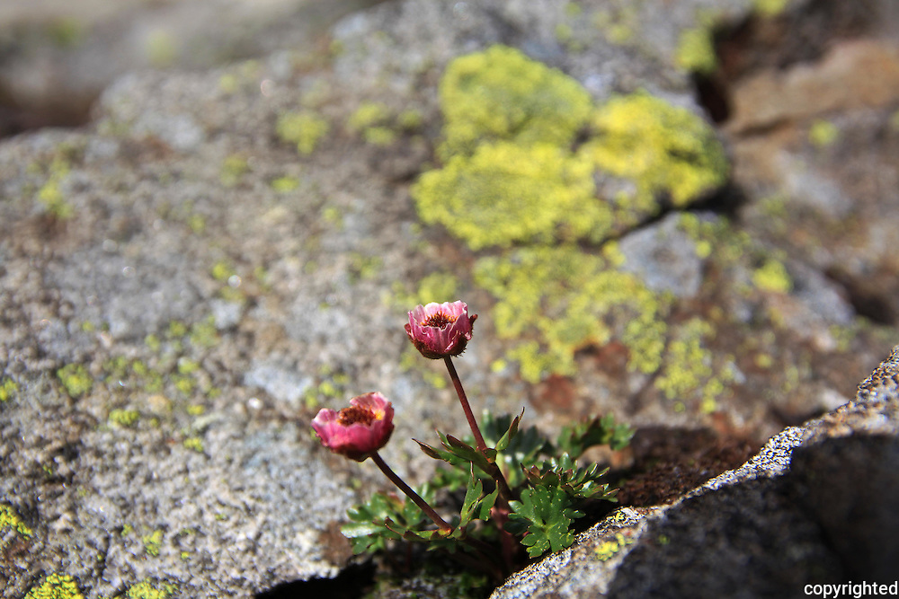 Issoleie, Fongen, 1441 moh.  Foto: Bente Haarstad Mountain flowers in Norway. Fjellplanter i Selbu og Tydal, Sylene med omland. Glacier crowfoot or glacier buttercup (Ranunculus glacialis). An arctic-alpine species, found in the high mountains of southern Europe (Alps, Pyrenees, Carpathians, Sierra Nevada, in Scandinavia, Iceland, Svalbard and Greenland. This is from the mountain Fongen in Norway, 1440 m. Changes colour during summer from white to pink or purple.
