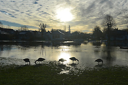 © Licensed to London News Pictures. 05/01/2014. Shepperton, UK. Geese feed in floodwater. Rising river levels in the River Thames at Shepperton Lock in Surrey threaten local housing along the river today 5th January 2014. Britain is experiencing flooding and more heavy rain is expected. Photo credit : Stephen Simpson/LNP