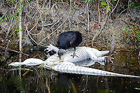 Eventually the King of the Florida Everglades ends up getting eaten. This alligator met its demise in the Fakahatchee Strand, and provided a meal, ready to eat for this black vulture. Without carrion birds such as this to keep the ecosystem clean from decay and rot, very little of the habitat would be safe for wildlife.