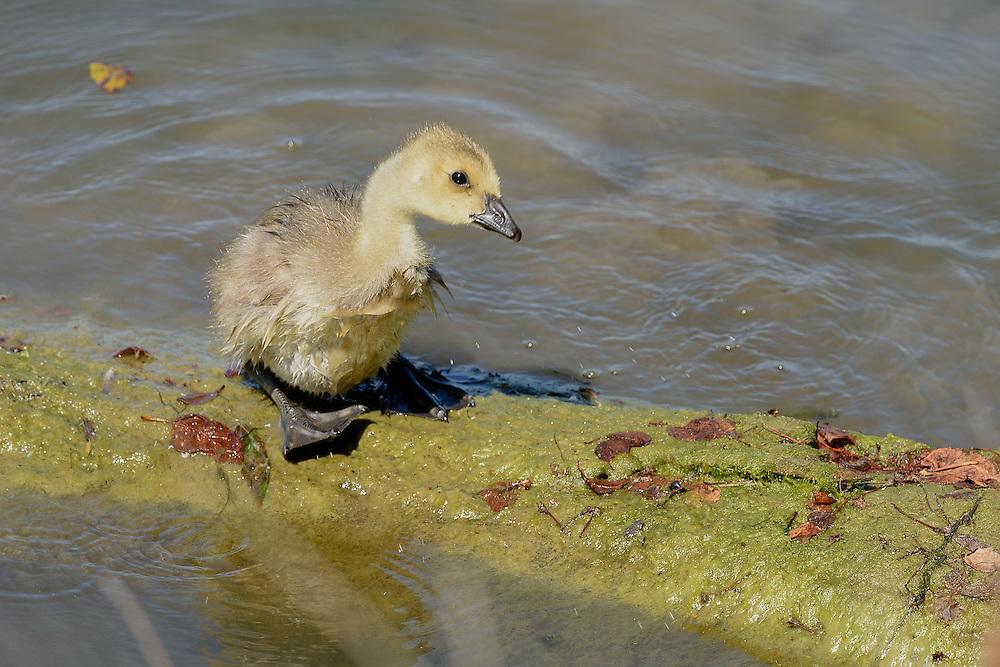 Gosling, Ladner, British Columbia