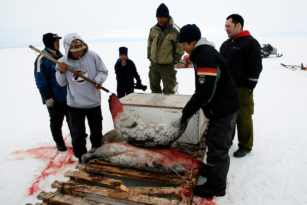 Inuit hunters (from left to right) PJ, age 17, Tomi Salovinik 19, Tomi, 12, Mark Ammarualik, Stivan Nangay, and Manik, 16, strap a seal to a sled after shooting it in Resolute Bay, Canada on Tuesday, June 12, 2007. The Inuit hunt seals for food, and the community uses every part of the seals, either eating the meat or using the hides to make warm clothes. The traditional way of life in the Resolute Bay Inuit community is being threatened by rising temperatures. The dangers of global warming, which have been extensively documented by scientists, are appearing first, with rapid, drastic effects, in the Arctic regions where Inuit people make their home. Inuit communities, such as those living on Resolute Bay, have witnessed a wide variety of changes in their environment. The ice is melting sooner, depleting the seal population and leaving them unable to hunt the animals for as long. Other changes include seeing species of birds and insects (such as cockroaches and mosquitoes) which they have never encountered before. The Inuit actually lack words in their local languages to describe the creatures they have begun to see. ..