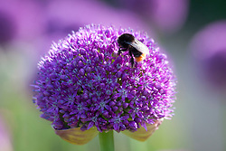 Bee on Allium 'Ambassador'