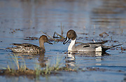 Pair of Northern Pintails, Anas acuta, from Lake Hornborga, Sweden.