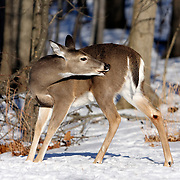 White-tail Deer doe grooming; Rifle Camp Park; Garret Mountain; New Jersey, USA