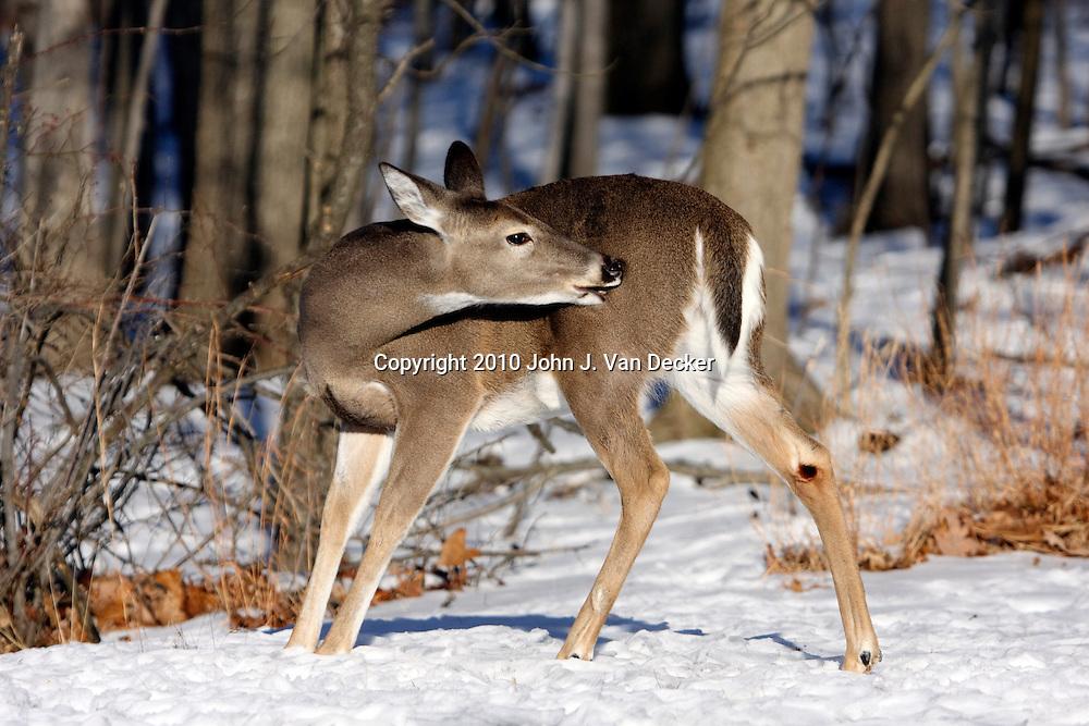 White-tail Deer doe grooming; Rifle Camp Park; Garret Mountain; New Jersey, USA