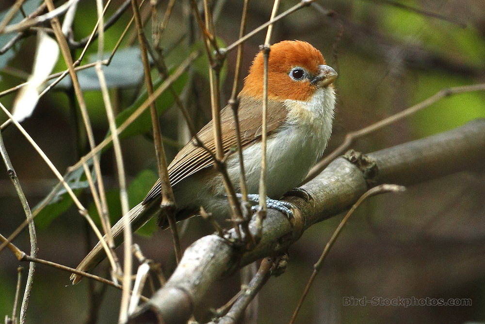 White-breasted Parrotbill, Psittiparus ruficeps, Bhutan, by Markus Lilje