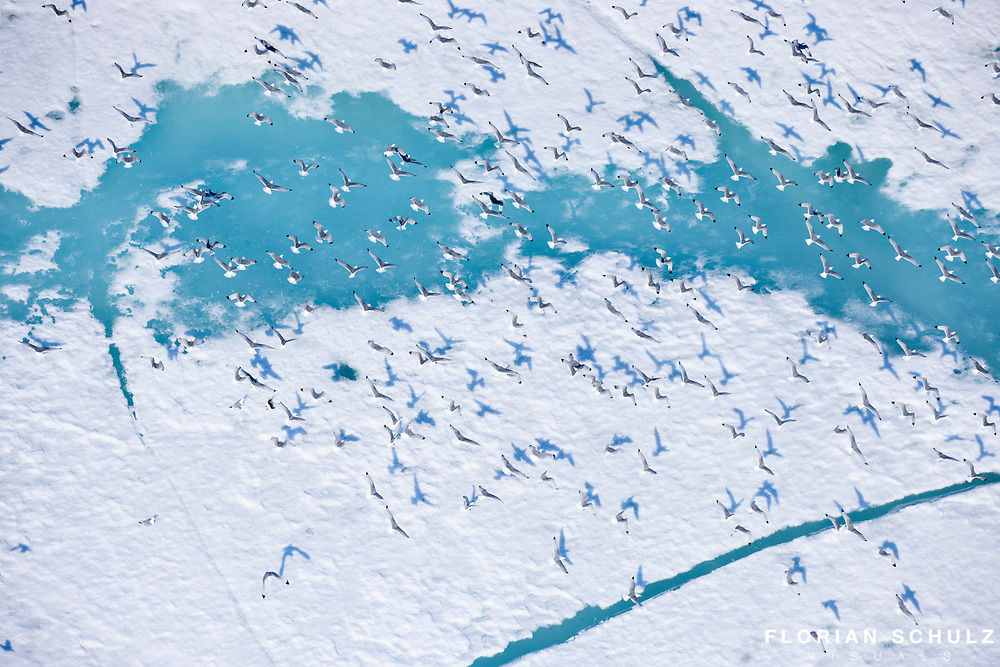 A group of Herring Gulls flying over the ice sheet of the Chuckchi Sea. Alaskan Arctic.